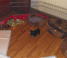 Обустройство манежа для щенка Чихуахуа