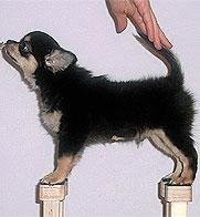 Стойка щенка Чихуахуа на специальной подставке