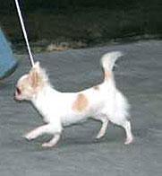 Движение щенка Чихуахуа на поводке по команде рядом
